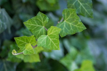 Obraz Hedera helix detail of green leaves, poison ivy evergreen plant, green foliage on branches - fototapety do salonu