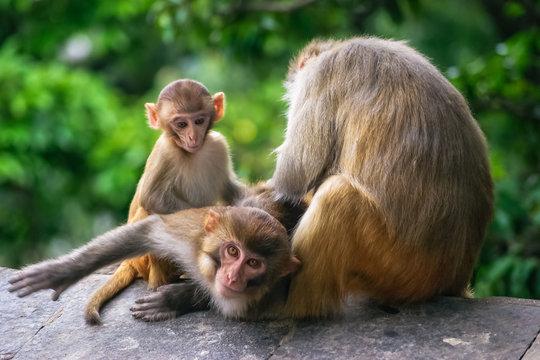 Monkey scratching other monkeys back in a temple in Katmandu Nepal
