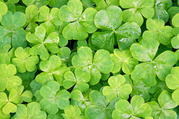 Close up view of clover leaves on a field