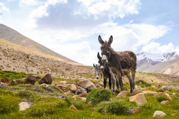 Fotobehang Ezel Wildlife donkeys on mountain in Jammu and Kashmir, India