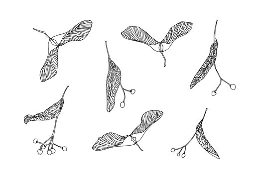 Set of hand drawn maple and linden tree seeds outline. Plant painting by ink pen. Sketch botanical vector illustration black isolated on white background.