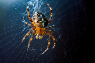 The spider species Araneus diadematus is commonly called the European garden spider, diadem spider, cross spider and crowned orb weaver