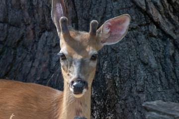 Fototapete - Young white-tailed deer (Odocoileus virginianus)