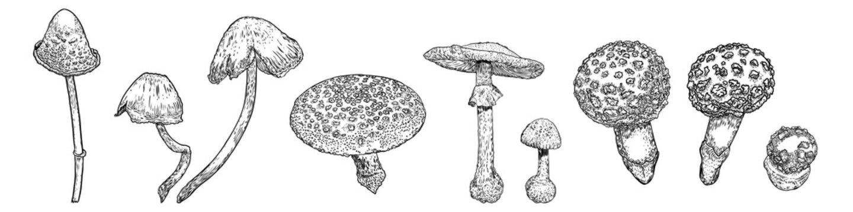 Set of Poison Mushrooms. Beautiful, realistic hand drawing sketch of mushroom. Vector