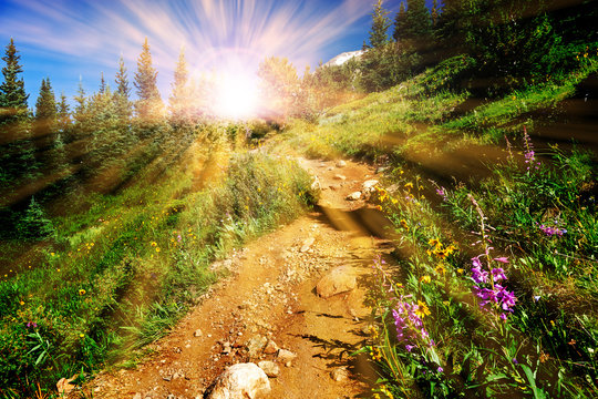 Dirt hiking trail winds through a meadow full of colorful wildflowers with the bright light of sunlight shining through the forest in the Colorado mountains