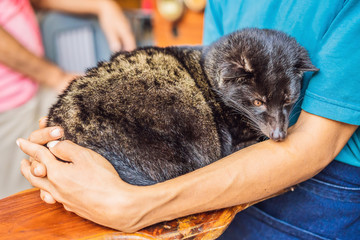 kopi luwak asian palm civet caffee, eyes closeup, most expensive coffee animal