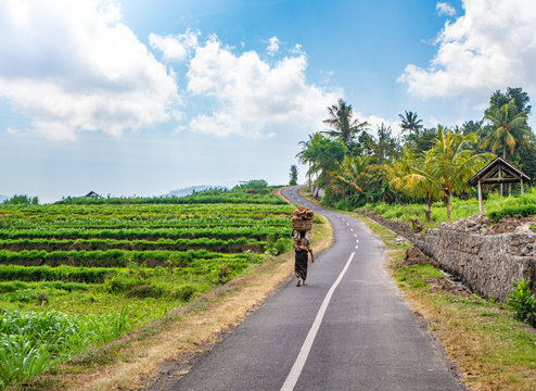 Back view of Indonesian old woman carrying basket of coconuts on her head, barefoot walking with through the road of beautiful tropical village