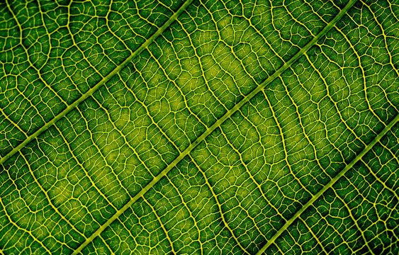 Close up of leaf veins
