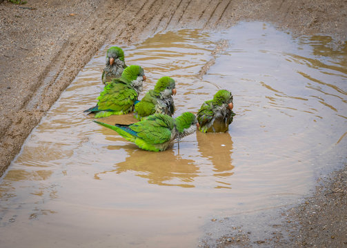A bunch of Monk Parakeets taking a bath in a puddle of water