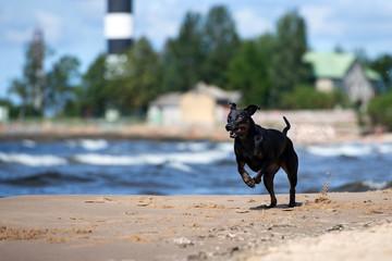 black catahoula dog running on the beach