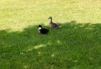 The ducks in the shade of the tree and in the green grass.