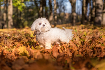 Maltese dog is standing on autumn leaves ground.