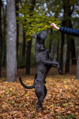Thai Ridgeback Dog is Standing on Two Legs. Autumn Leaves Background