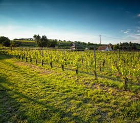 Nice vineyard in the morning