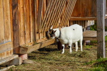 White goat eating in the mountain hut.