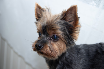Yorkshire Terrier dog on a white background. Little dog isolated on a white background. Sheared dog. A pet.