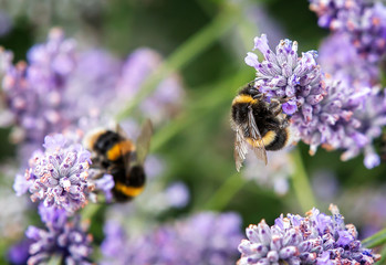 Obraz Close up of bumblebee collecting pollen and nectar from lavender flowers, second bee in background - fototapety do salonu