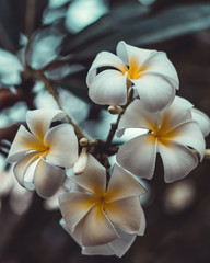 frangipani flower on a background