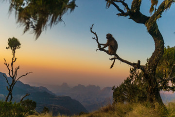 Tuinposter Aap Gelada baboon sitting on a branch and watching the sunset