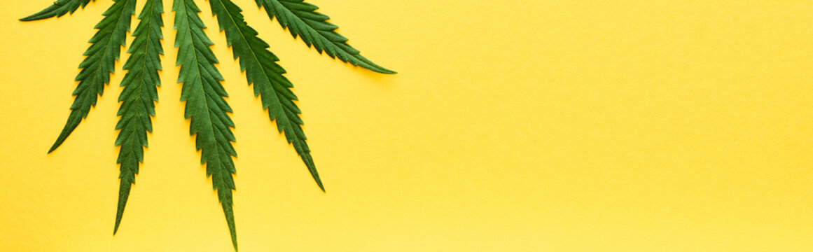 top view of green hemp leaf isolated on yellow, panoramic shot