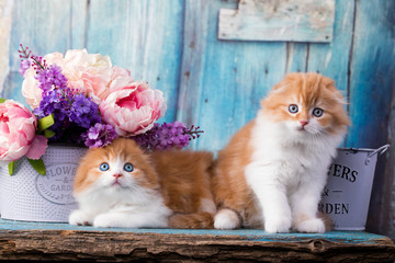 Scottish fold kitten; red color