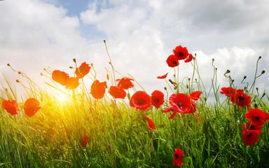 Fotobehang Poppy Red poppies on field