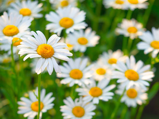 Beautiful white daisy flowers in sunny day