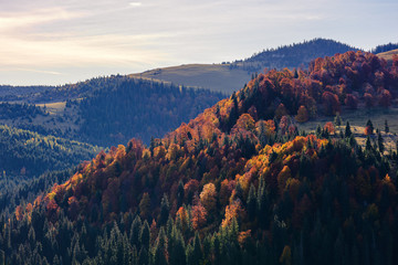 beautiful autumn mountain landscape. forest on slopes of a hills. mixed forest in fall colors in the morning light