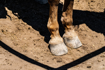 Close up of a horse's front feet standing in dirt