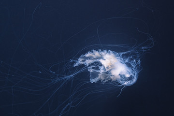 Wall Mural - sea nettle jellyfish with long tails