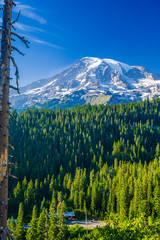 Fototapete - Forest of pine trees with snow covered Mt. Rainier in the distance on a blue sky day in Mt. Rainier National Park.