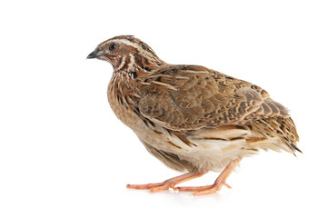 Wild quail, Coturnix coturnix, isolated on a white background