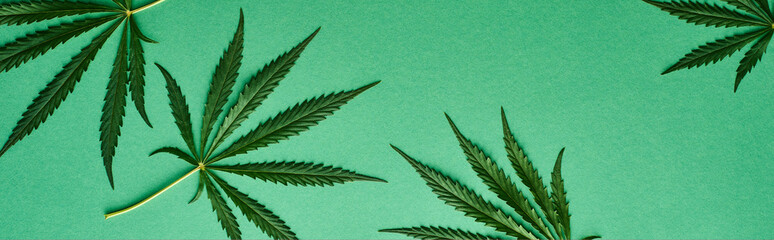 top view of green cannabis leaves on green background, panoramic shot