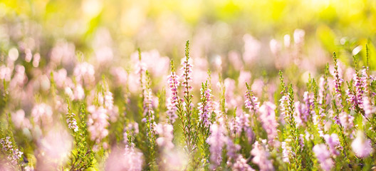 Keuken foto achterwand Geel Natural bright background. Forest flowers heather in the rays of the setting sun.