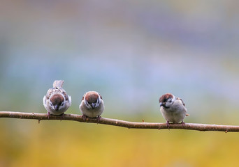 Wall Mural - natural background with three funny little birds, the sparrows and Chicks sitting on a branch in a warm summer garden