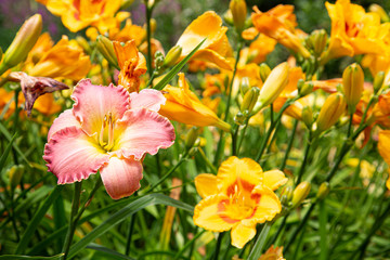 Pink and Yellow Lilies in a Green Garden