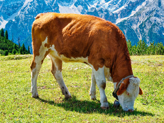 Cow eating grass in the meadow mountain summer