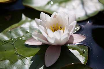 Wall Murals Water lilies Water Lily, Lotus