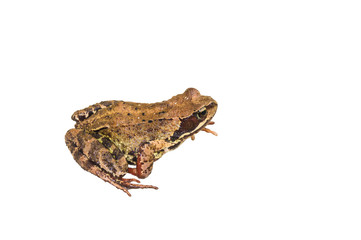 Rana arvalis. Moor frog on white background. Common Water Frog isolated on a white background