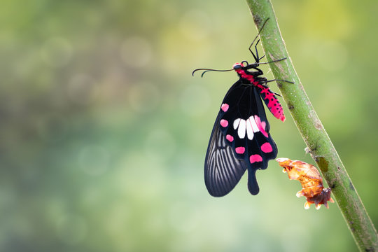 Transformation of common rose butterfly emerging from cocoon, chrysalis