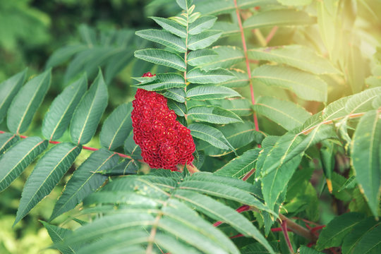 Beautiful macro of red staghorn sumac flower on green plant branches leaves. Sun light from above. Artistic amazing spring summer nature. Natural floral background with copyspace.