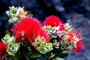 Ohia Lehua, a plant endemic to Hawaii, growing on black lava rocks in the Hawaii Volcanoes National Park on Big Island, Hawaii, USA.
