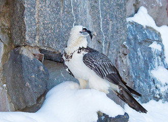 The bearded vulture. It's a large bird of prey, standing about 1.2 m (4 ft) high.