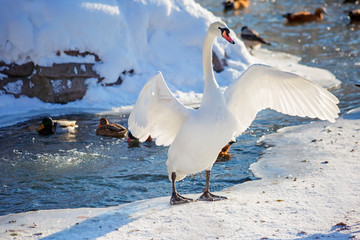 White Swan at the lake in winter.  Its elegance Swan acquires due to the long neck. Swans are a big part of my life spend on the water.