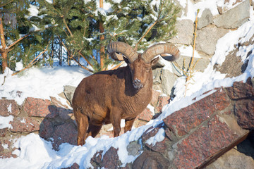 Argali or mountain sheep.   Argali is a mountain sheep with a steep curved heavy horns, forcing the beast to hold his head high.