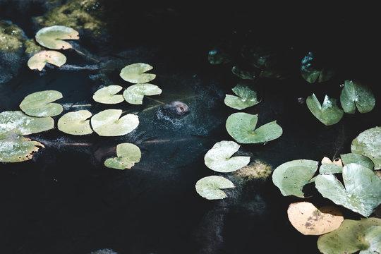 Group of dark water lillies