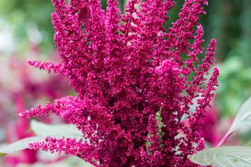 Amaranthus cruentus, amaranth flowers
