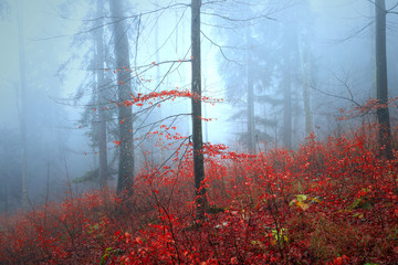 Beautiful autumn red coloured tree leaves in foggy forest landscape.