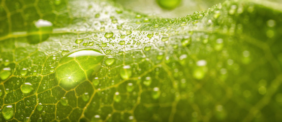 In de dag Macrofotografie Banner of Rain drops of transparent rain water on a green leaf macro