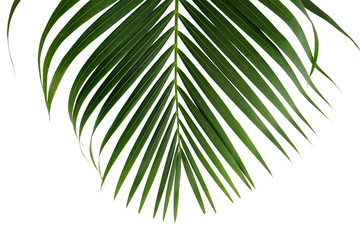 Green palm leaf isolated on white background with clipping path for design elements, coconut tropical leaf